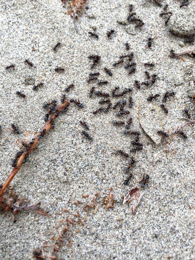 Fourmis noires image stock