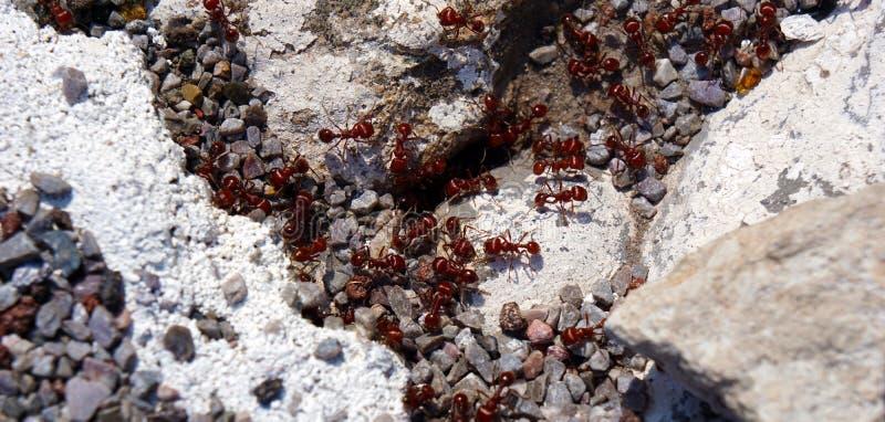 Fourmis rouges mexicaines photos stock