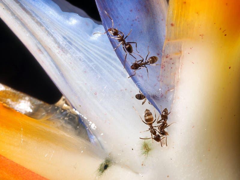 Fourmis sur la fleur photo libre de droits