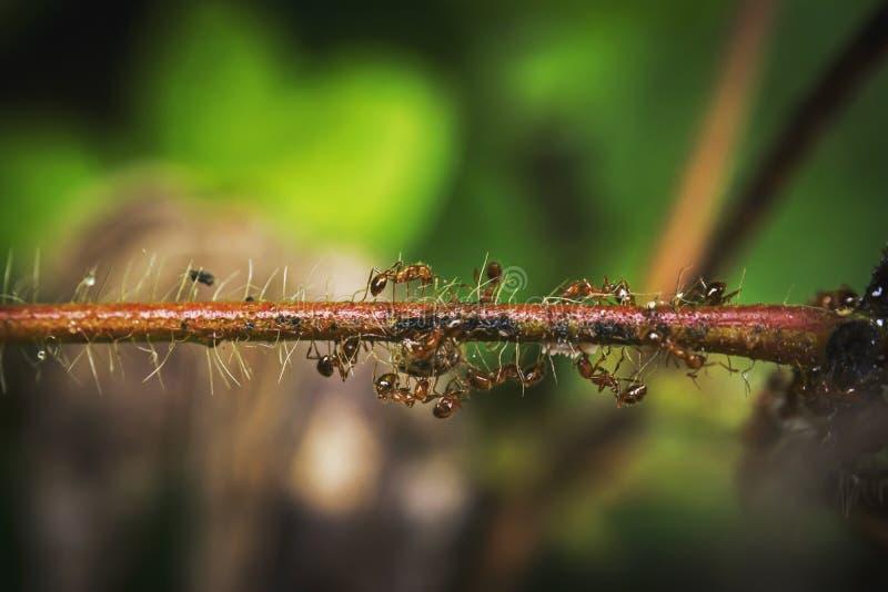 Fourmis sur une branche humide photographie stock