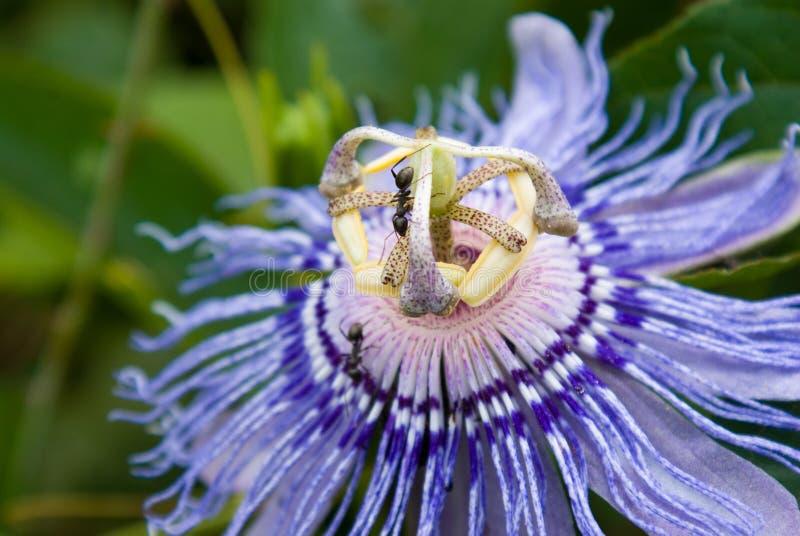 Fourmis sur une fleur de passion photographie stock libre de droits