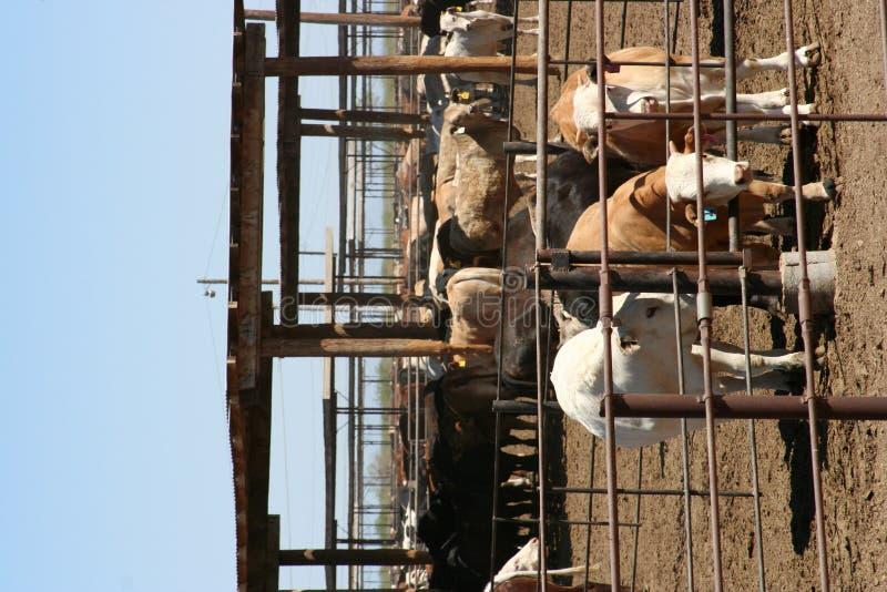 Fourrage de bétail images libres de droits
