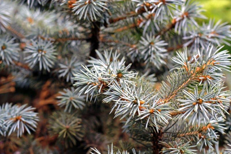 Fourrure-arbre photo libre de droits