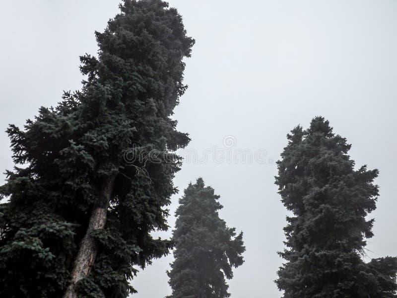 Fourrure-arbres en brouillard sur le fond gris de ciel photographie stock libre de droits