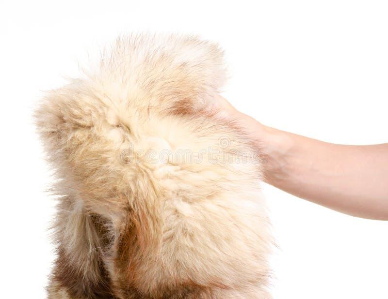 Fourrure de peau avec le renard arctique à disposition photo stock