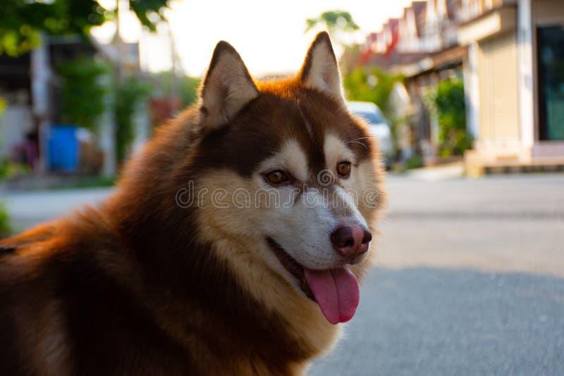Fourrure sibérienne de cuivre de chien photo libre de droits