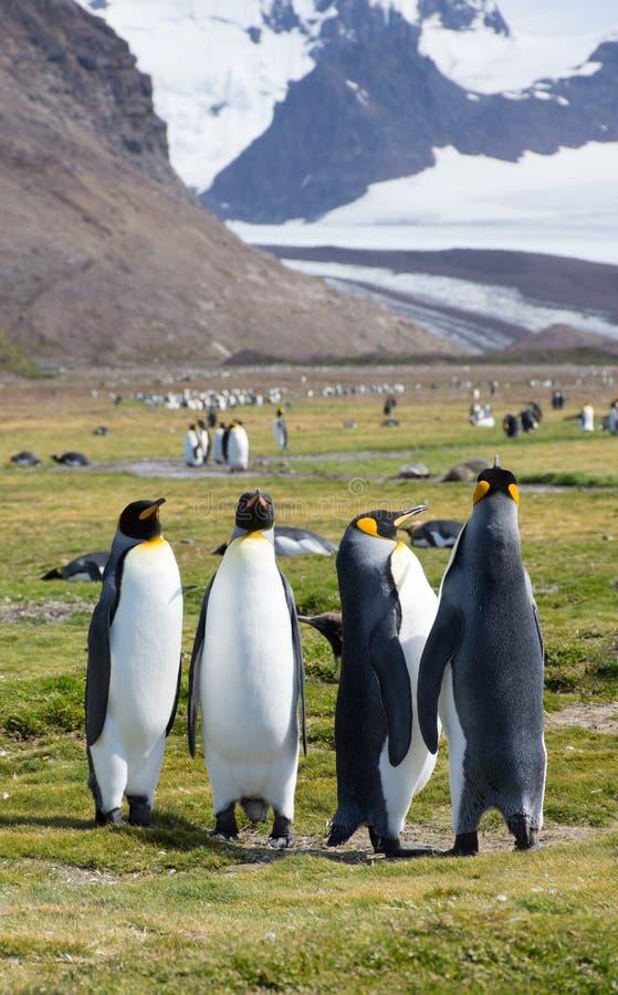 Foursome królewiątko pingwiny w Trawiastym polu z Śnieżnymi górami Behind obrazy royalty free