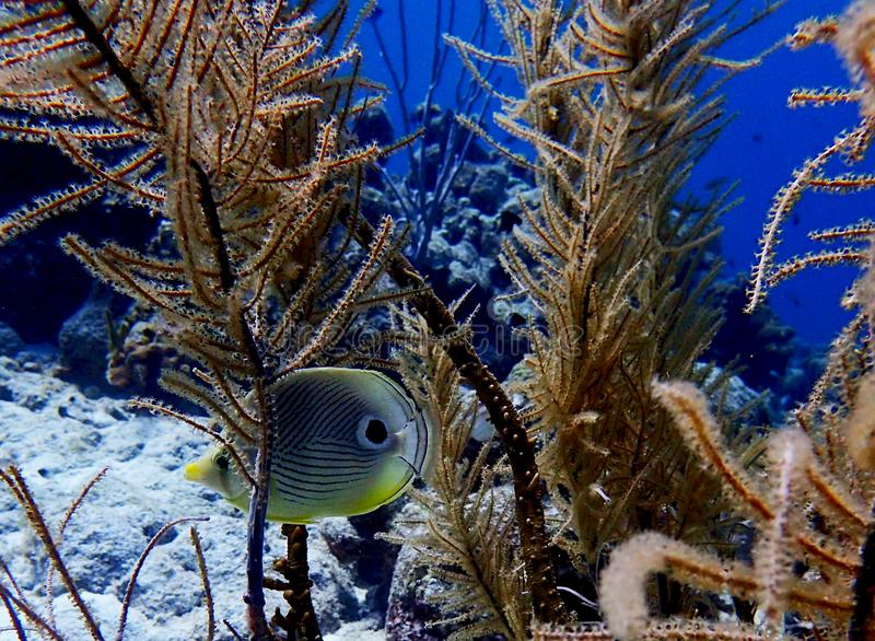 Fourspot butterflyfish Chaetodon quadrimaculatus Bonaire. Hiding in soft coral and divesite hilma hooker, Caribbean sea stock photography