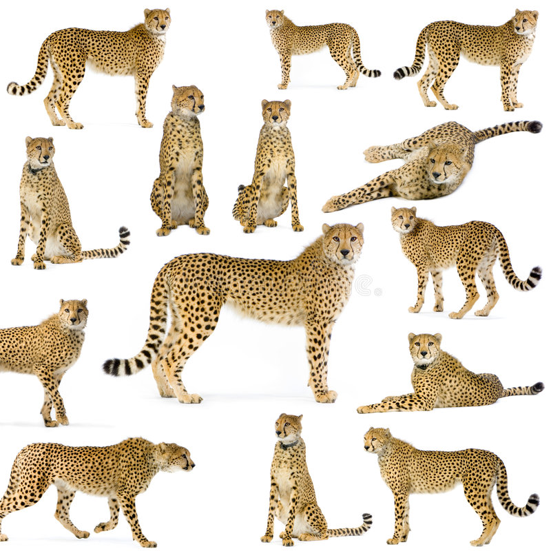 Free Fourteen Cheetahs Royalty Free Stock Images - 2285529