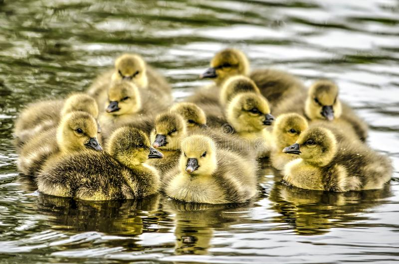 Fourteen young goslings royalty free stock image