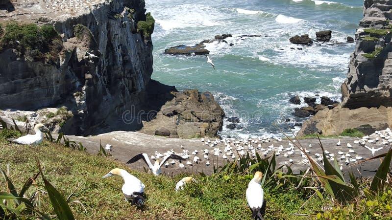 Fous de Bassan sur les roches dans des oiseaux de la Nouvelle Zélande image libre de droits