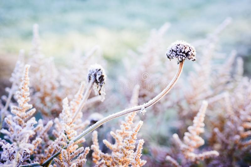 Fower bed with first frost stock image