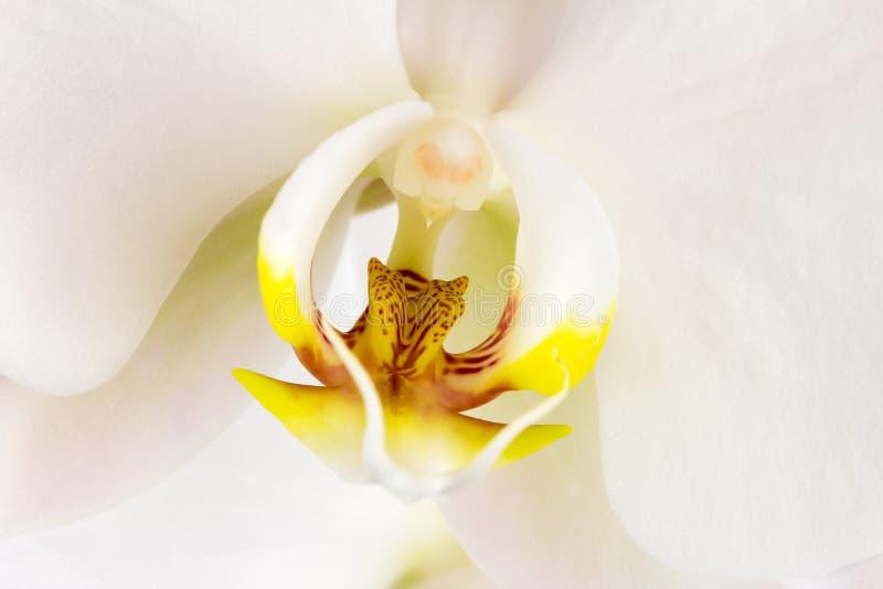 Fower branco da orquídea foto de stock