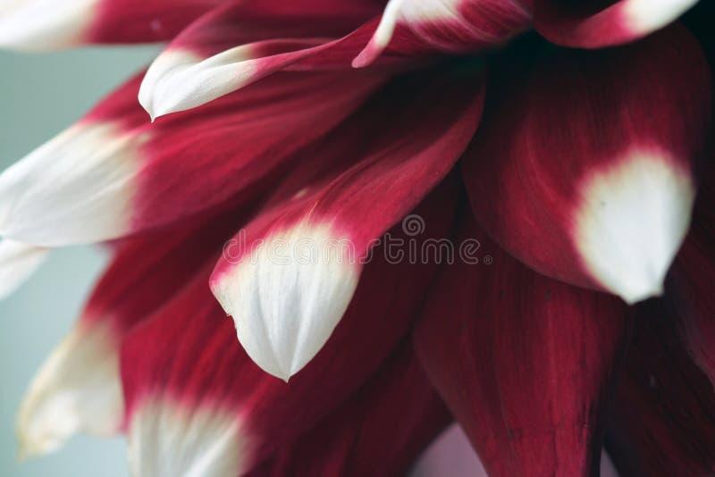 Fower branco e vermelho da dália imagens de stock