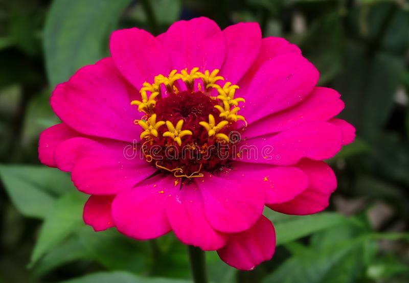 Fower rosado brillante hermoso con polen foto de archivo libre de regalías