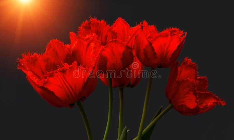 Fowers, красные тюльпаны на заходе солнца стоковое изображение