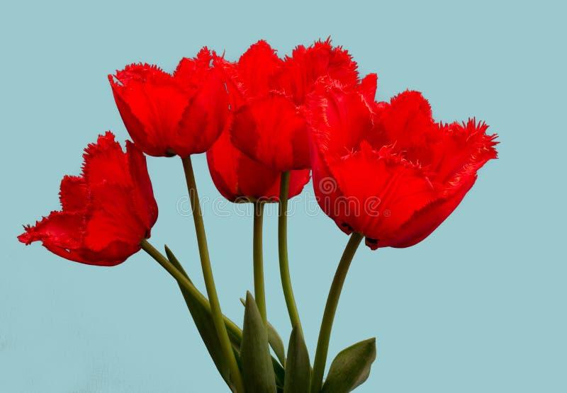 Fowers, красные тюльпаны стоковое фото