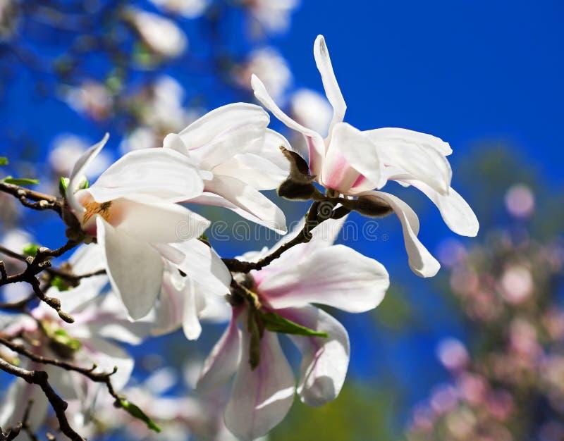 Fowers della magnolia bianca contro il cielo blu fotografia stock