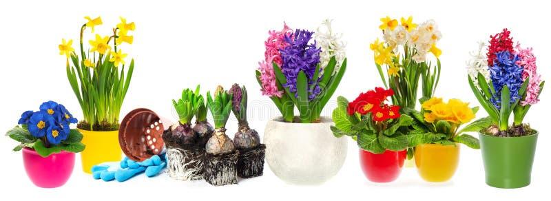 Fowershyacint, narcissensleutelbloemen Het Tuinieren van de lente royalty-vrije stock afbeelding