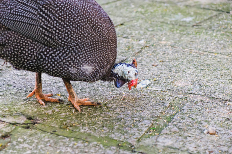 Fowl walking around looking for food. Helmeted Guinea Fowl or Numida Melleagris walking around looking for food in the Kuala Lumpur Bird park, Malaysia stock photos