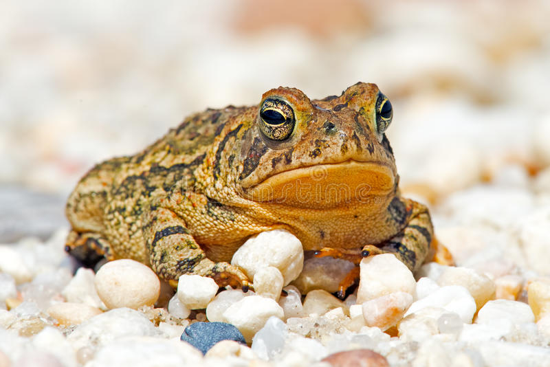 Fowler's Toad stock photography