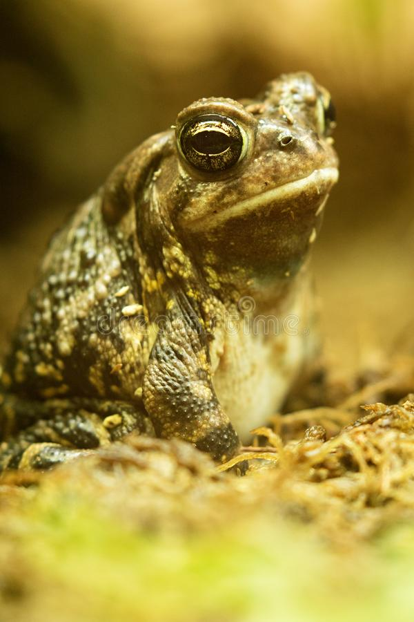 Fowler`s Toad stock photos