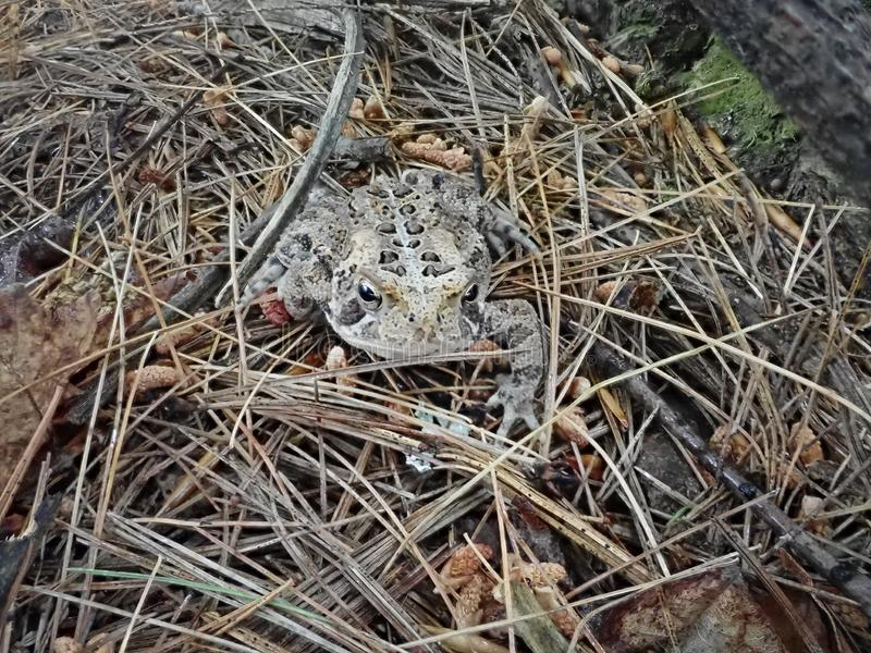Fowler`s Toad on forest floor royalty free stock photos