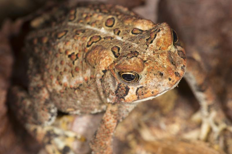 Fowler`s toad standing in a New Hampshire woods. stock photos