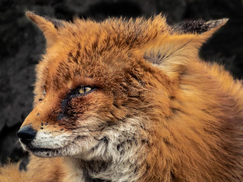 Fox画象 免版税库存照片