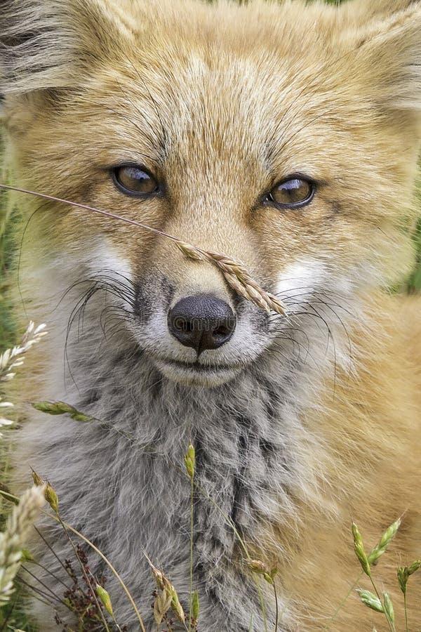 Fox和五谷 免版税库存图片