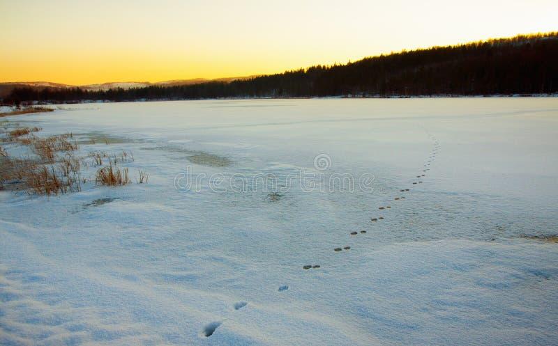 Fox轨道在湖的冬天在森林里 库存照片