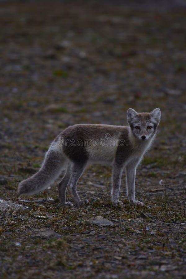 Fox ártico foto de stock royalty free
