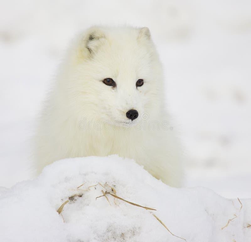 Fox ártico fotografia de stock royalty free