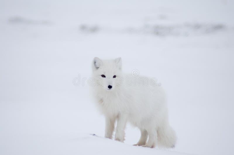 Fox ártico fotografía de archivo libre de regalías