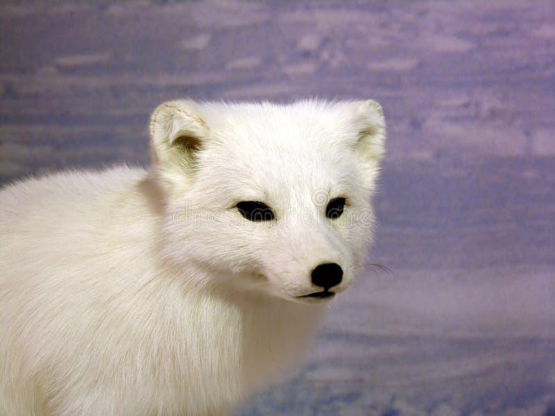 Fox ártico imagens de stock royalty free