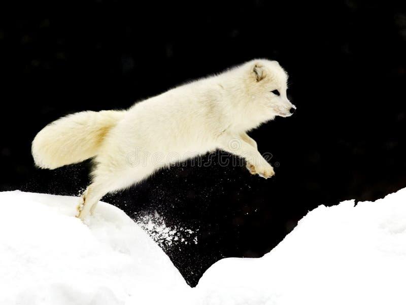 Fox ártico de salto fotos de stock
