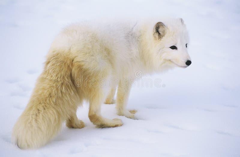Fox ártico en nieve imagenes de archivo