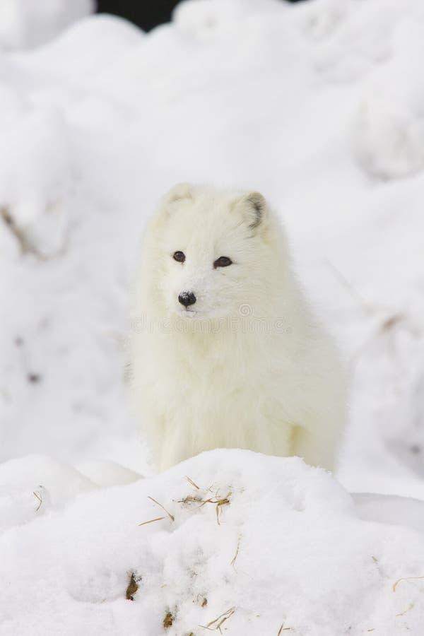 Fox ártico na neve branca profunda imagens de stock royalty free