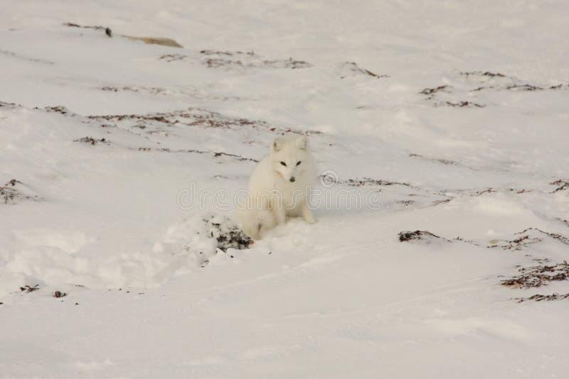 Fox ártico sano fotos de archivo
