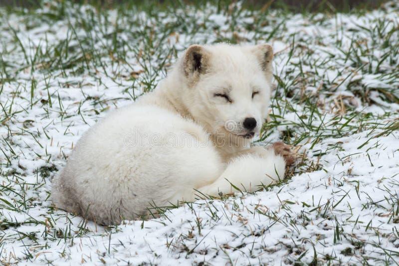 Fox ártico solitario en un ambiente del invierno fotografía de archivo