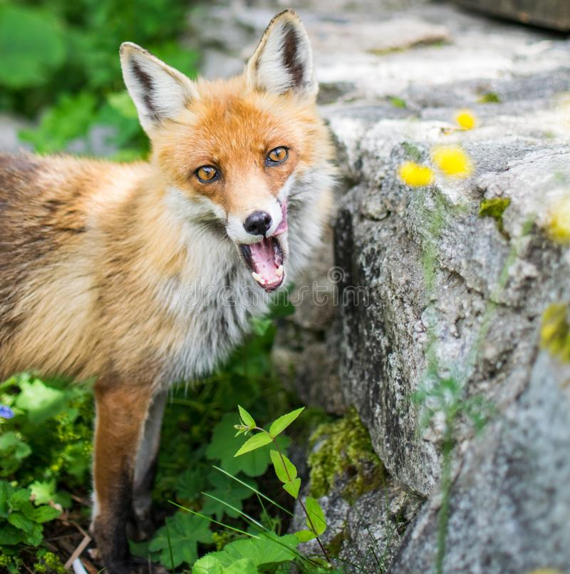 Fox в свободное диком стоковое изображение rf