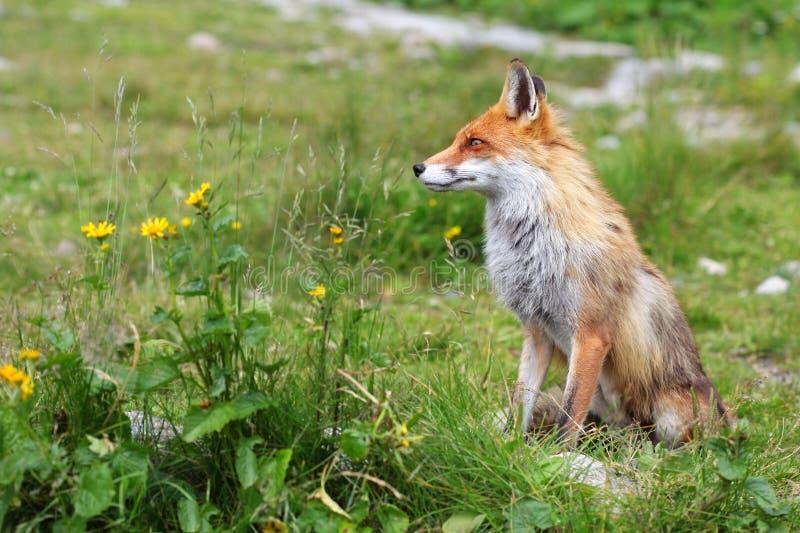 Fox в природе стоковое изображение rf