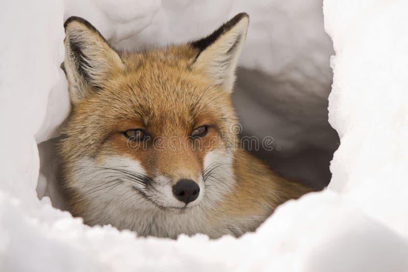 Fox в снежке стоковое изображение
