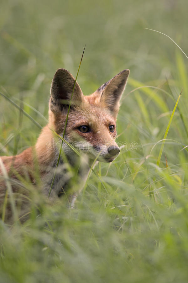 Fox в траве стоковые фото