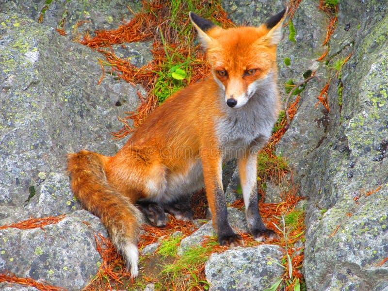 Fox горы стоковое изображение