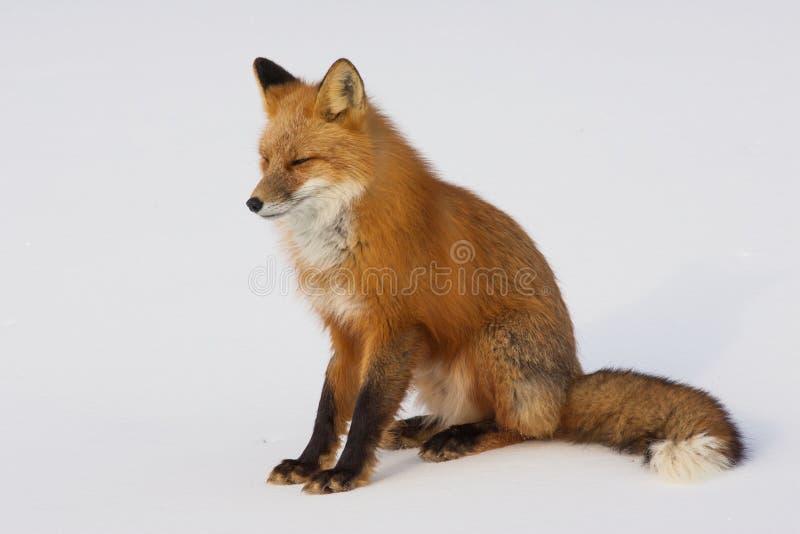 Fox зимы красный в Whitehorse, Юконе, Канаде стоковые изображения