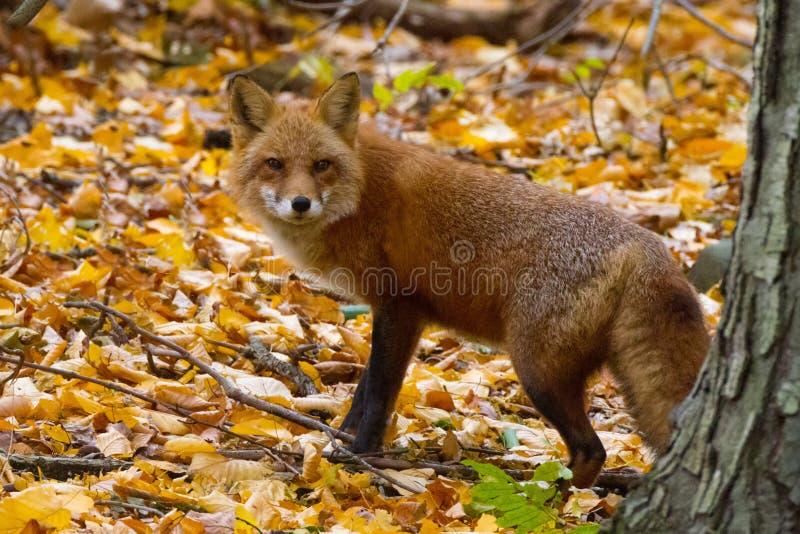Fox на густолиственном уклоне стоковая фотография