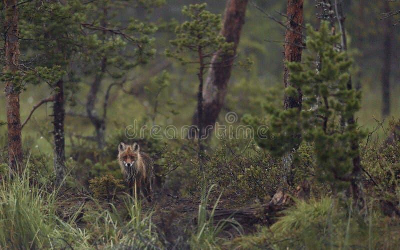 Fox спрятанный в траве стоковое фото