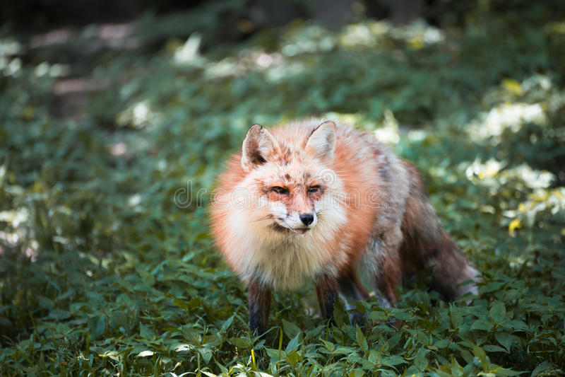 Fox画象 库存图片