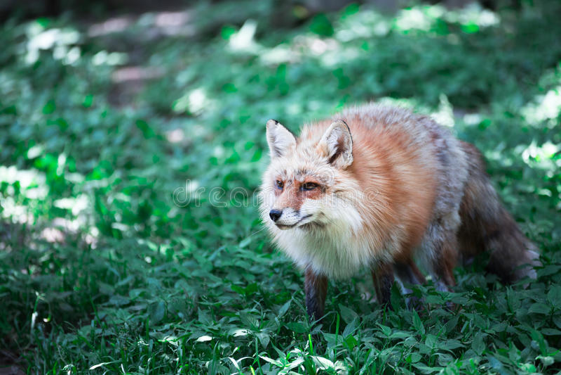 Fox画象 图库摄影